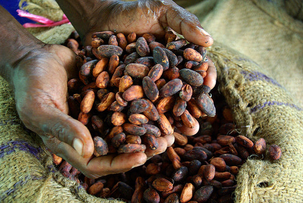 Farmer's Hands Holding Cacao