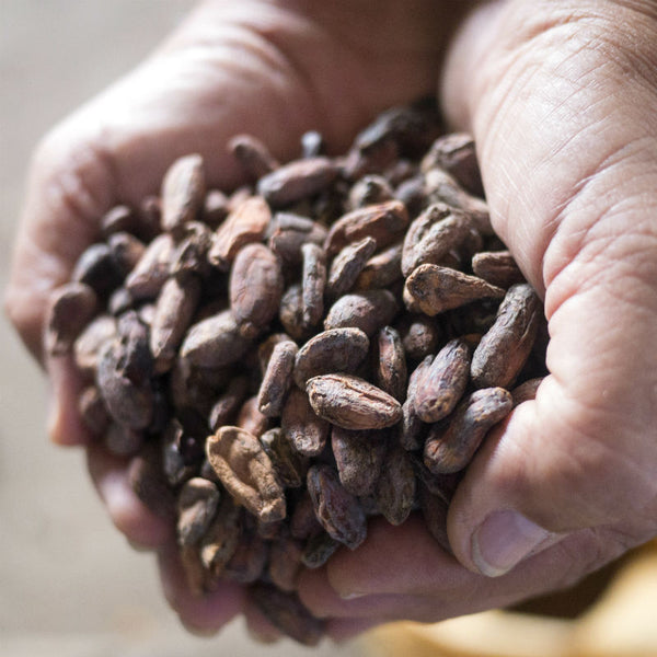 Raw cacao - cocoa beans from Ecuador