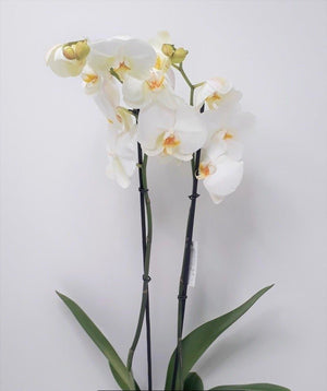 Load image into Gallery viewer, Orchid flower / ورد اوركيد