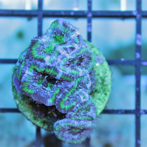 Green Rim Purple Acan