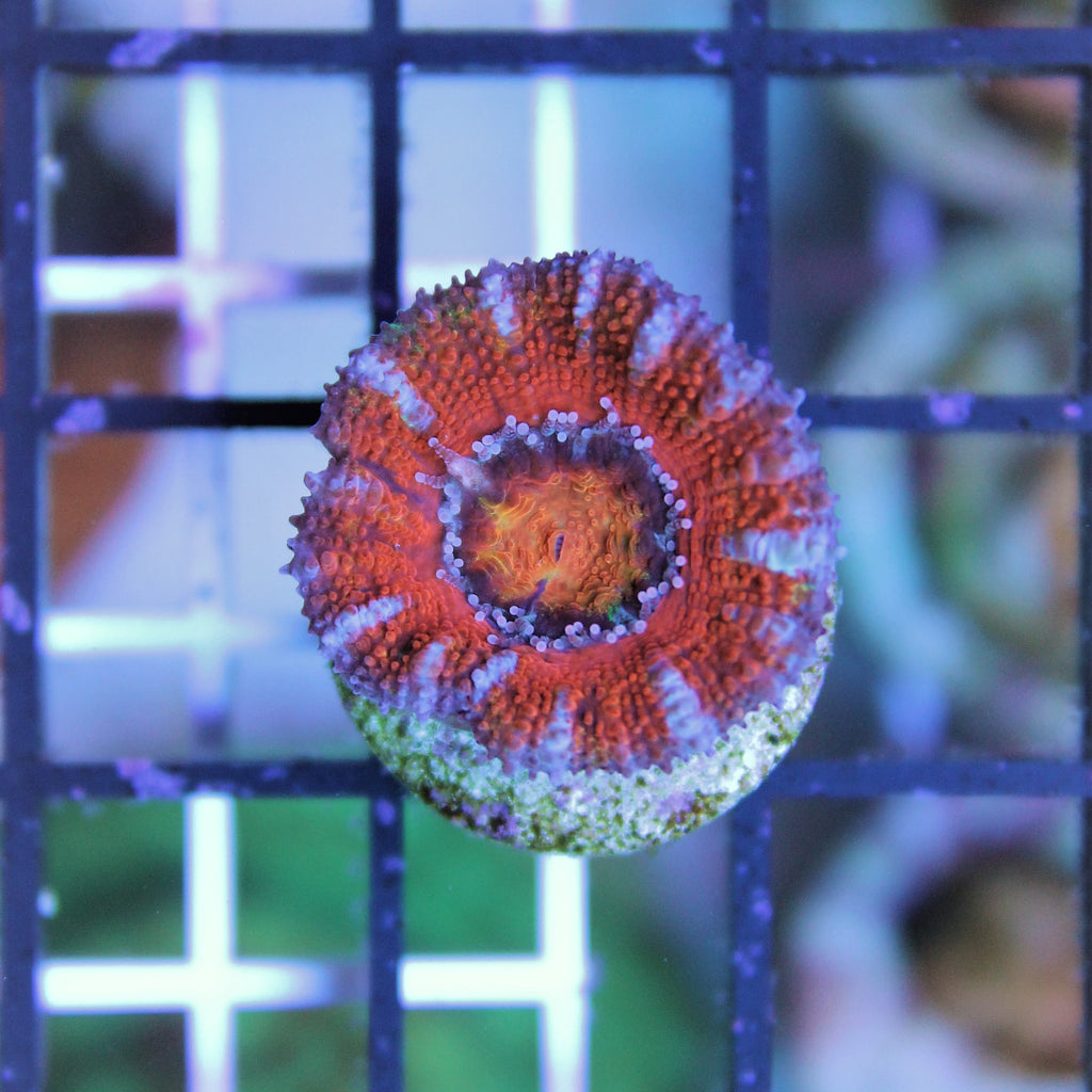 Single Head Rainbow Acan