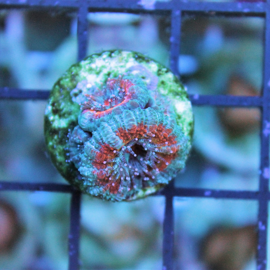 Turquoise and Red Acan