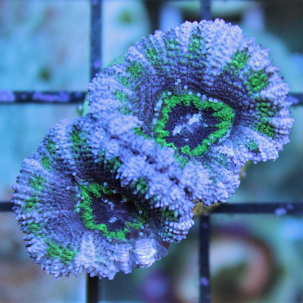 Purple and Green Acan