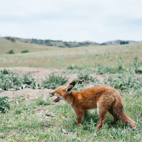 Photographic Print - Fox