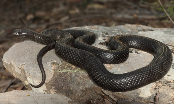 blue belly black snake