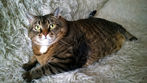 are fat cats less likely to engage with their humans doc
