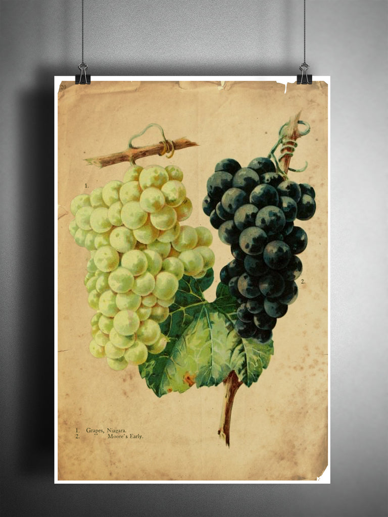Grape art, red and white grapes, old botanical illustration, nature ...