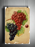 Red Grape art, old botanical illustration, nature artwork print on dictionary page