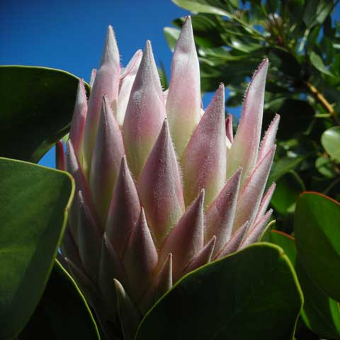 Protea Flower in farm