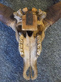 Antique Early 20th Century African Water Buffalo Skull Collectables - erfmann-vintage