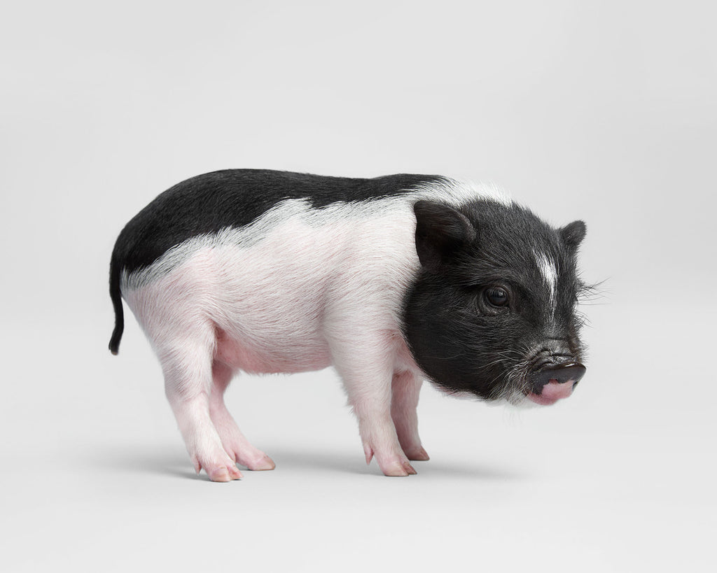 POT BELLIED PIGLET