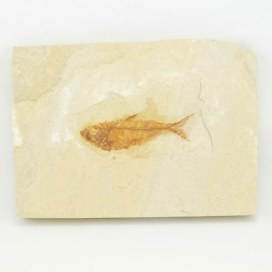 Fossil Fish 4.88x3.5 Inch