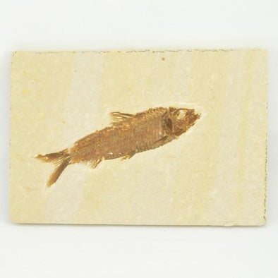 Fossil Fish 5x3.5 Inch