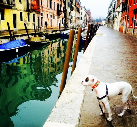 American Bulldog in Rome