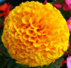 Marigold- Day of the Dead Flower
