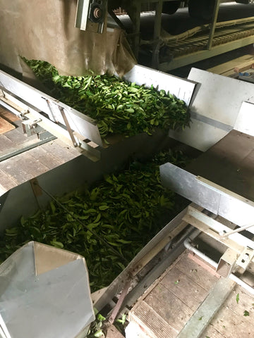 Tarui Tea Farm - conveyor belt processing
