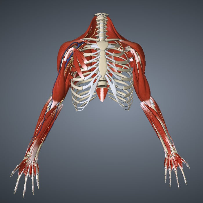See Your Arm Muscles and Tendons