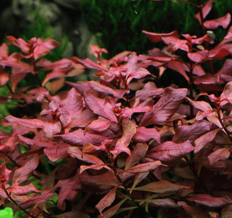 Ludwigia Mini Super Red Care, Characteristics and Benefit