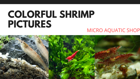 Most colorful shrimp pictures