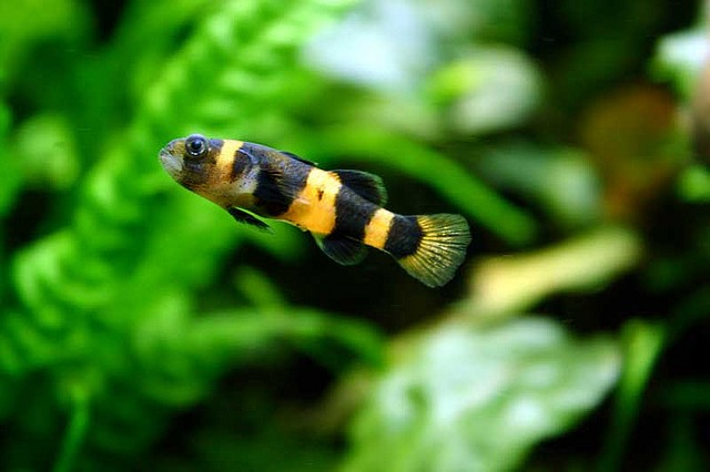 Bumblebee Goby: The Definitive Guide