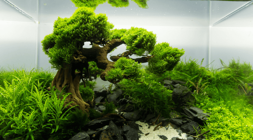 "Bonsai Driftwood The ""Precious Jewel"" Of Your Aquascape"