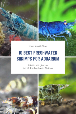 10 Best Freshwater Shrimps for Aquarium