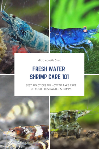 Fresh Water Shrimp Care 101