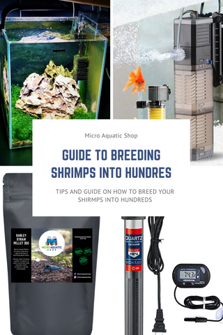 How to Breed Freshwater Shrimps into Hundreds