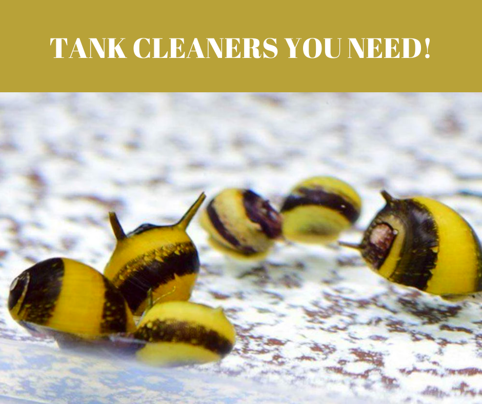 Nerite Snails: The tank cleaners you need!