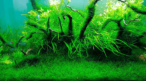 Types of Moss For Aquascaping - Different Aquarium Mosses