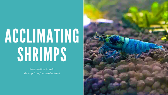 Acclimating Shrimp- Preparation to add shrimp to a freshwater tank