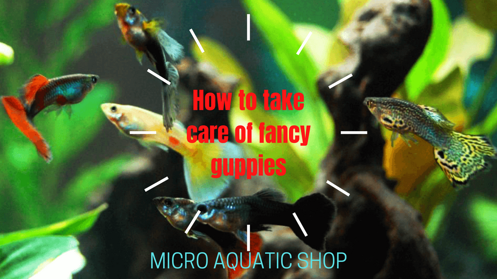 How to take care of fancy guppies
