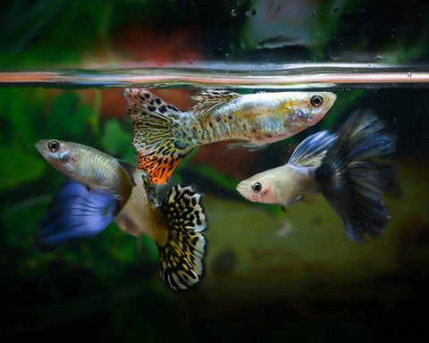 Guppy Care Guide - How To Care For Guppies?  Step by Step