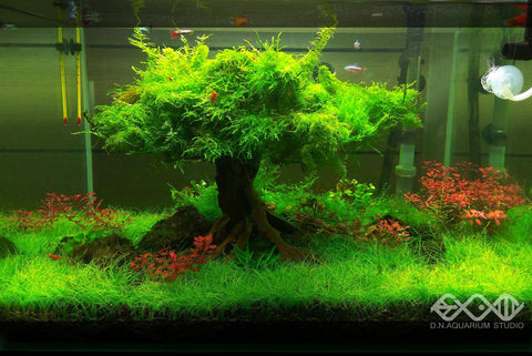 Christmas Moss Carpet.How To Grow Moss In Planted Aquarium Allcanwear Org