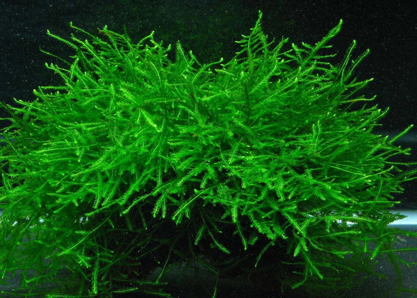 Java Moss Easy Care, Hardy, Long Lasting, Aquarium Plant