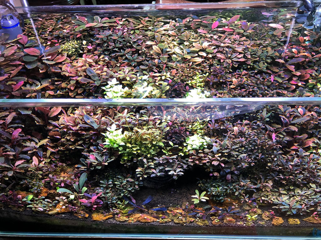 Bucephalandra For Sale