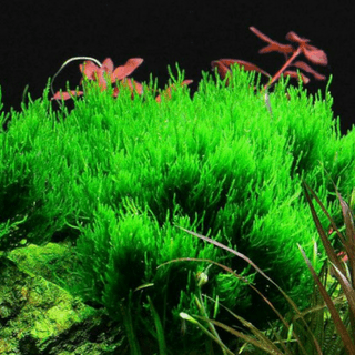 "FLAME MOSS TAXIPHYLLUM SP.""FLAME"""
