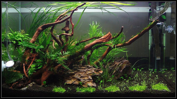 Redmoor Root Aquarium