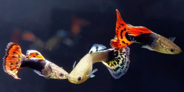 6 Reasons Why Guppies Are The Perfect Pet