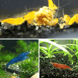 Micro Aquatic Shop Aquatic Shrimp 4 Yellow + 4 Red + 4 Blue Cherry Shrimps for sale - Pack of 12 Shrimps