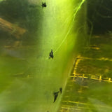 Micro Aquatic Shop Aquatic Shrimp Extreme Black King Kong Shrimp
