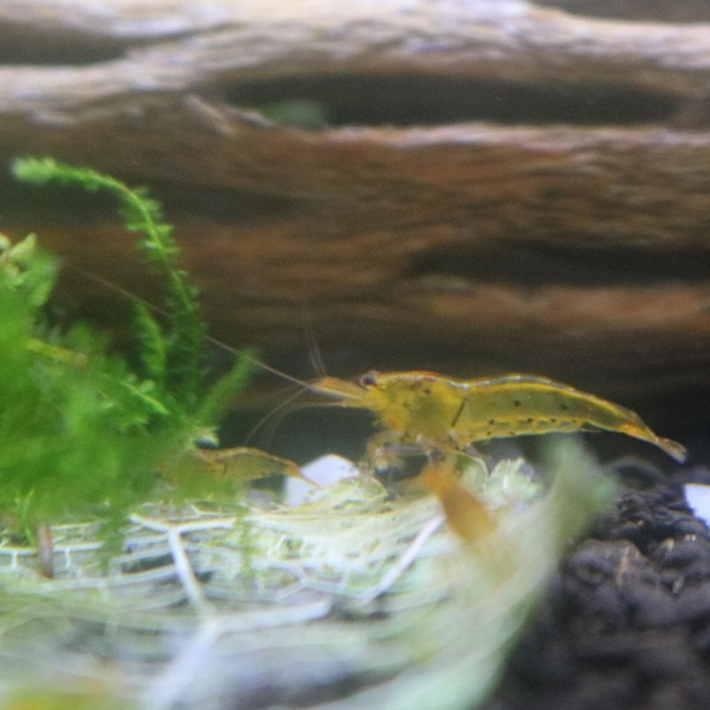 Micro Aquatic Shop Aquatic Shrimp Tangerine Tiger Shrimp