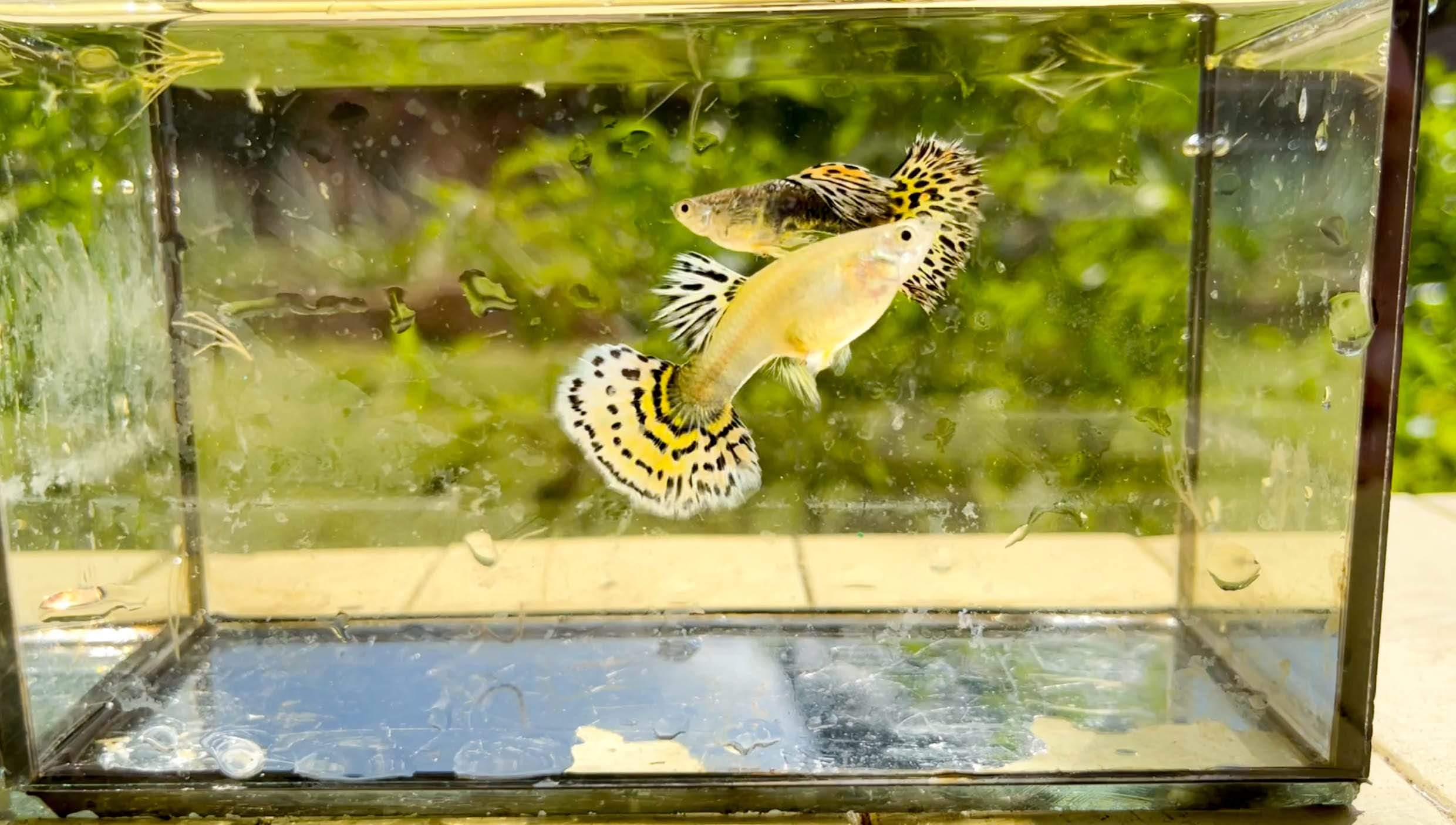 Micro Aquatic Shop Fancy Guppies 1 pair High Dorsal Tiger Fancy Guppy -  (Pair)