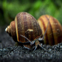 Brown/black mystery Snails