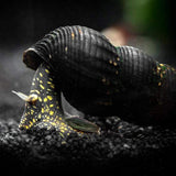 Load image into Gallery viewer, Micro Aquatic Shop snail Yellow Spotted Giant Rabbit Snail