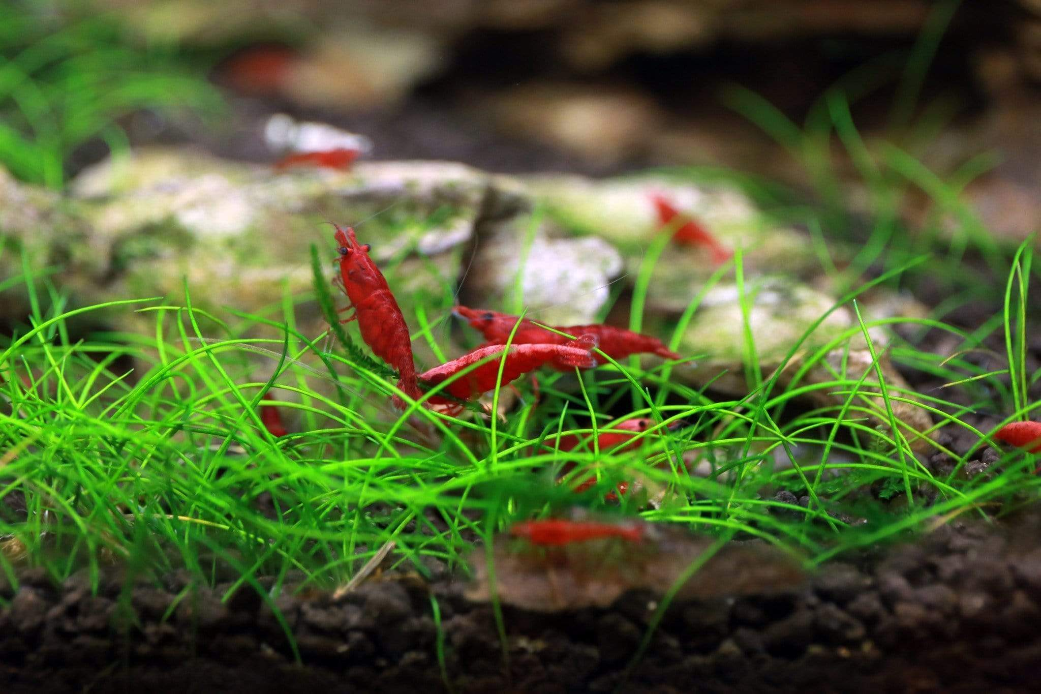 Wiio Red Ruby Shrimp