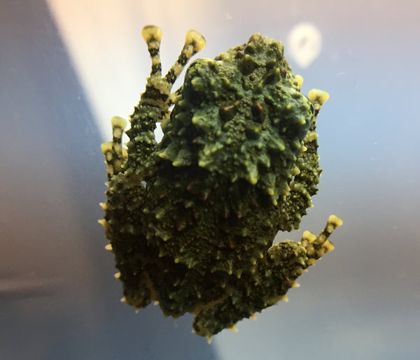 Theloderma corticale (Vietnamese Mossy Frog) - Captive Bred
