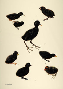 1984 Print Baby Chicks Birds Crakes Rails Lansdowne - ORIGINAL BD1