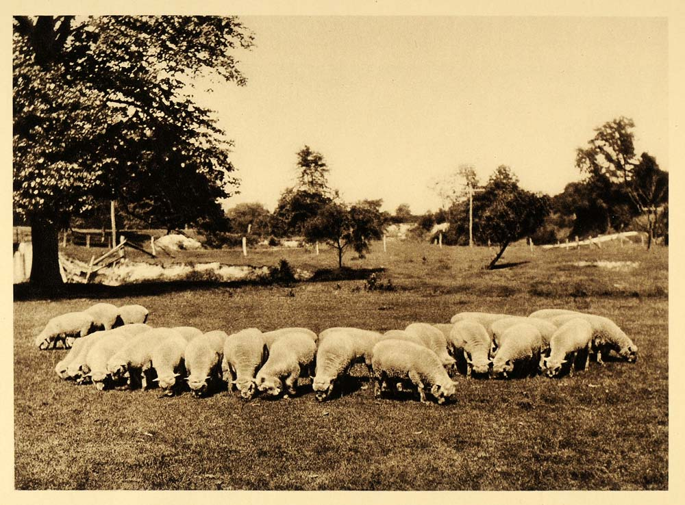 1926 Sheep Herd Flock Farm Agriculture Manitoba Canada - ORIGINAL CAN2