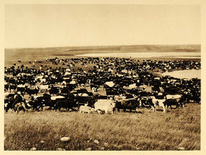 1926 Cattle Ranch Herd Grazing Manitoba Province Canada - ORIGINAL CAN2